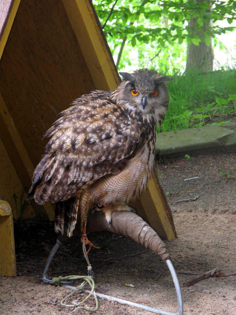 Konopiste castle Birds of Prey Eagle Owl