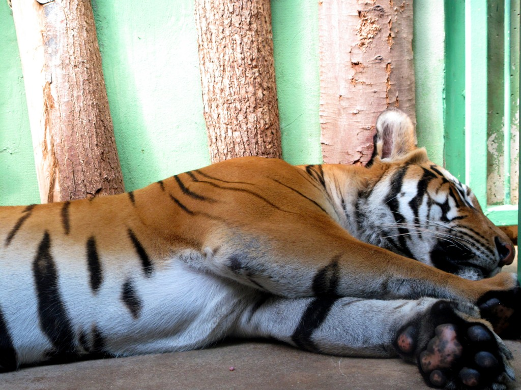Bengal Tiger Sleeping